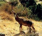 резерват Дупката Смолян Благороден елен