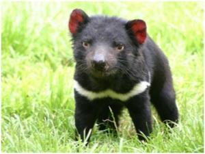Тасманийският дявол